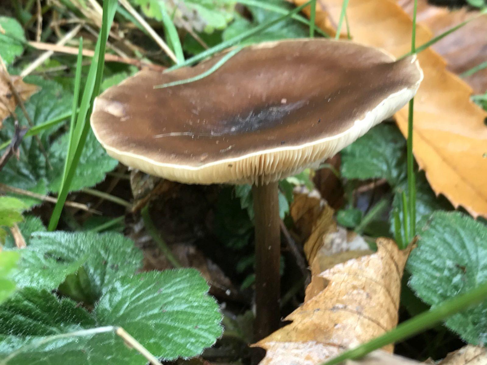 Pilze entlang des Keschdewegs im Pfälzerwald