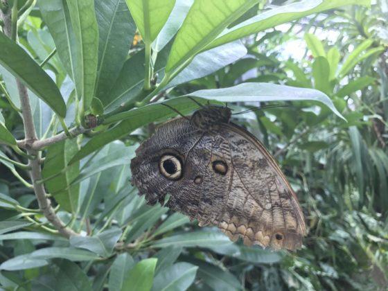 Schmetterling Butterfly - Schmetterlingshaus Insel Mainau - Butterfly House