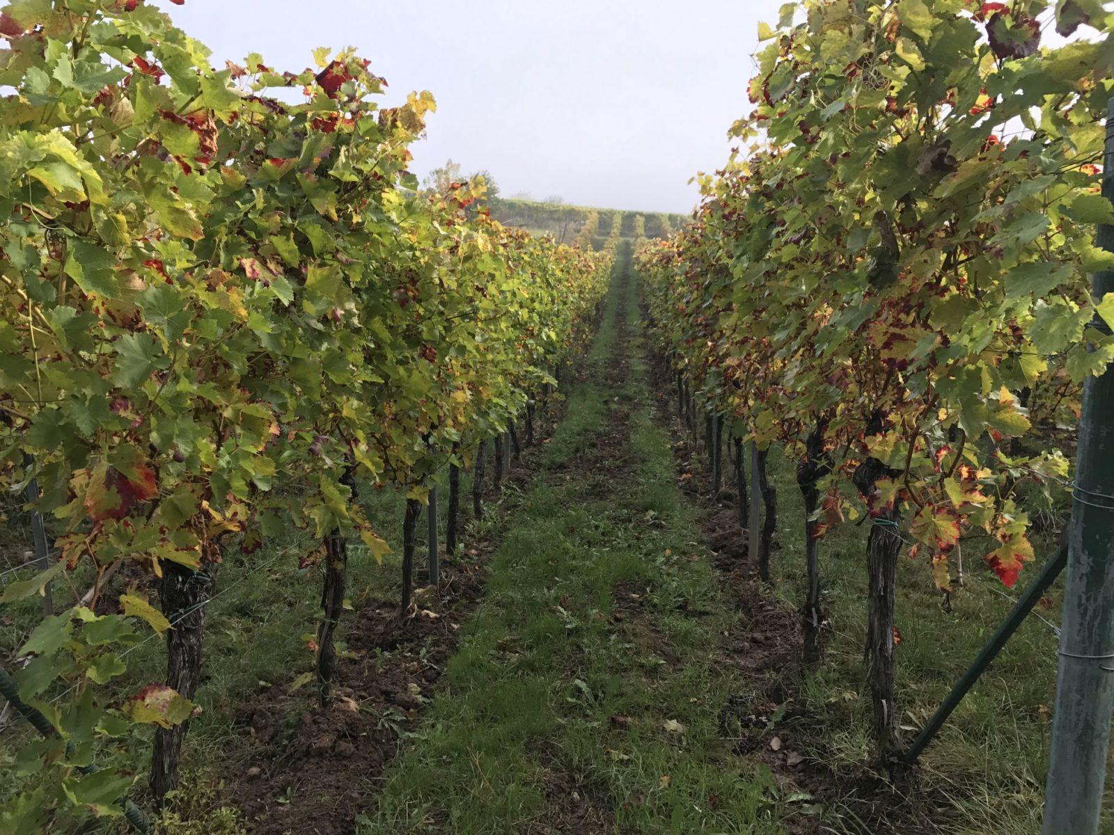 Weinberge entlang des Keschdewegs in der Pfalz