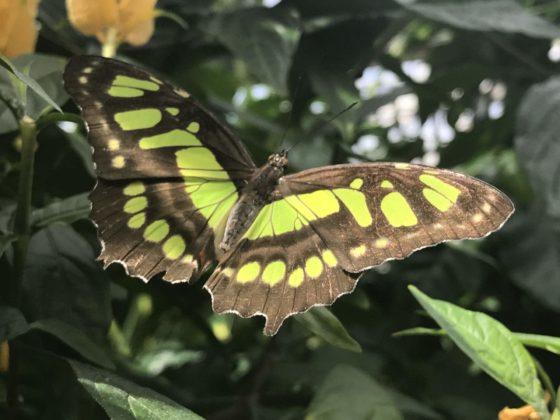 grüner Schmetterling Falter Tagfalter auf der Insle Mainau