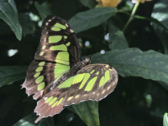 grosse Schmetterlinge Insel Mainau