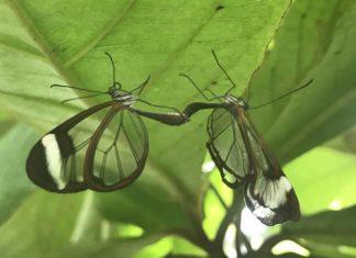 transparent Butterfly - durchsichtiger Schmetterling - Insel Mainau